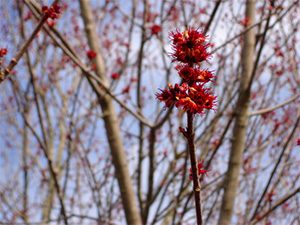 Flower of the Red Maple Tree (Acer rubrum) in Western Vermont