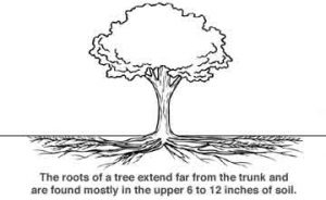 Roots of the tree extend far from the trunk