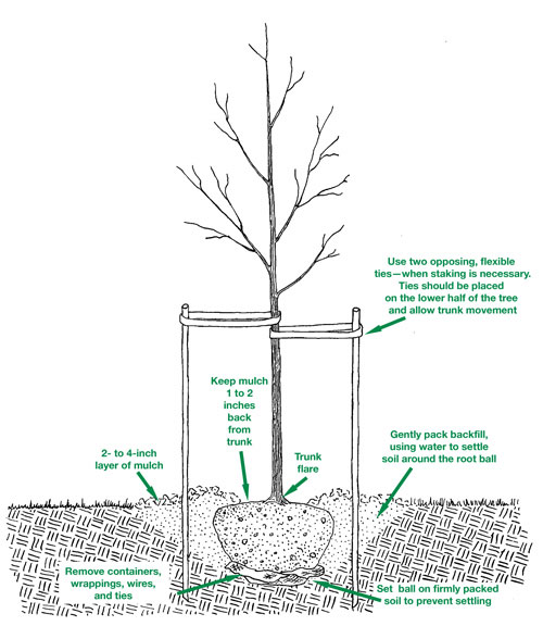 string, and wire from around the trunk and root ball to facilitate  growth (see diagram)  be careful not to damage the trunk or roots in the  process