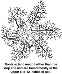 Roots are found mostly in the upper 6-12 inches of soil