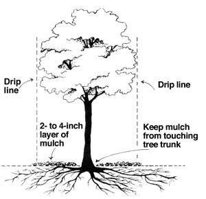 Add 2-4 inches of mulch under the drip line