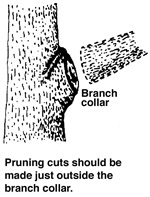 Cuts should be just outside the branch collar