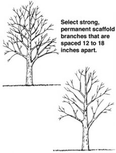 A good structure of primary scaffold branches should be established while the tree is young.