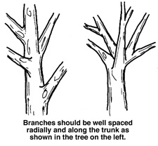 Branches should be well spaced and along the trunk